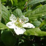 Flor de nesprer